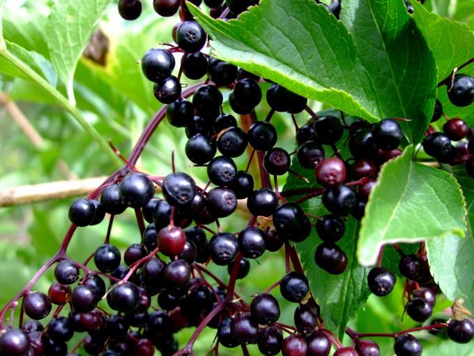 Beeren des Schwarzen Holunder