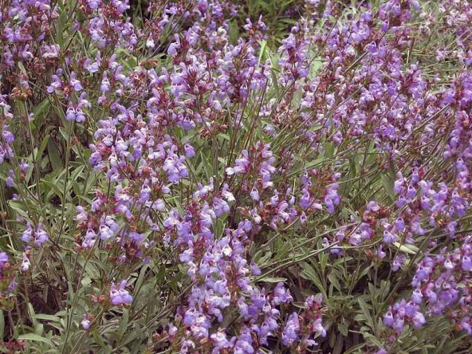 Salvia_officinalis