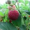Erdbeere: Mieze Schindler