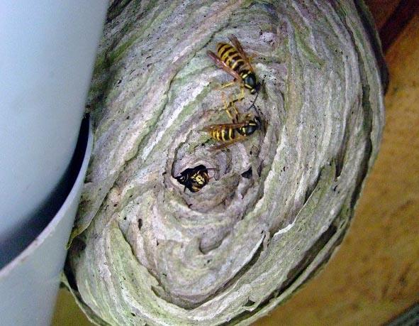 Wespennester werden schichtartig aus Holzfasern und Spucke gebaut.