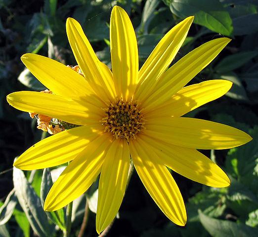 Im Spätsommer setzt der Topinambur gelbe Blüten an.