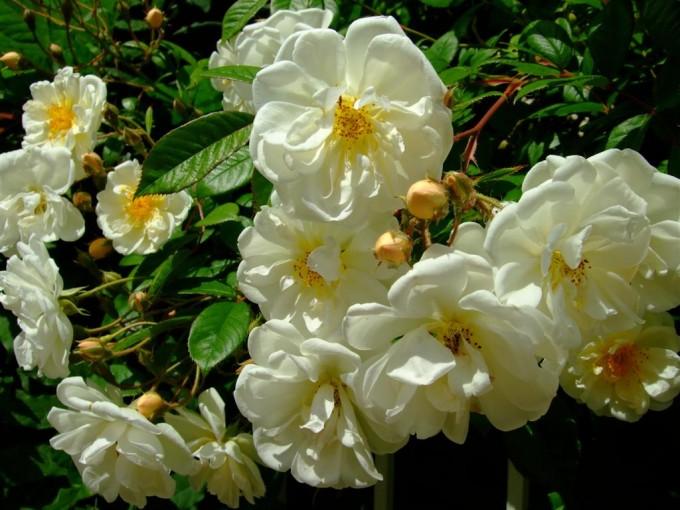 Ungefüllte Rosen sind gute Nektar- und Pollenspender.