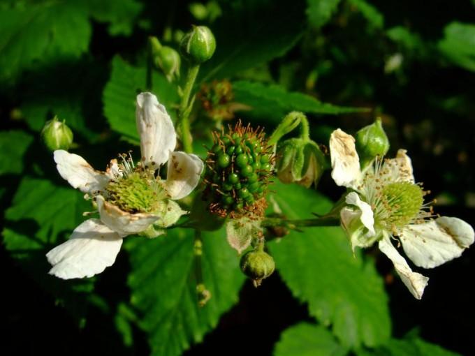 Powerpflanze im Garten: blühender Brombeerestrauch