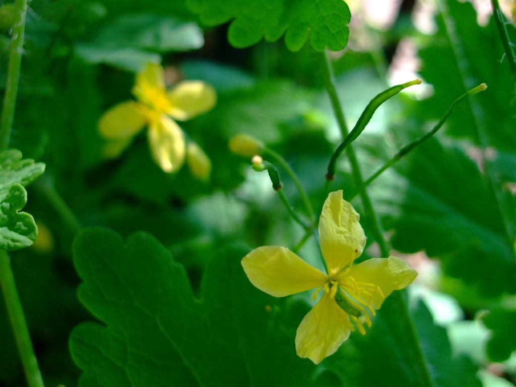 gelbe Blüten des Schöllkrauts