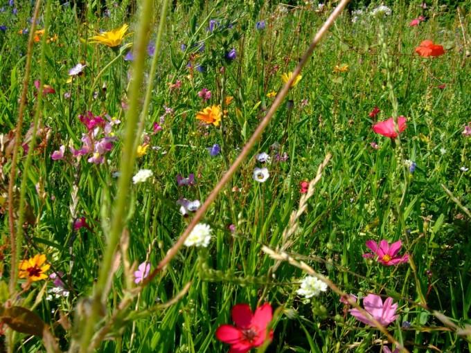 Wer seinen Rasen in eine Wildblumenwiese verwandeln möchte, braucht Geduld und eine gute Saatmischung.