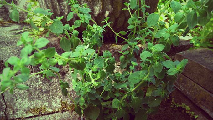Oregano. Fester Bestandteil meines Kräutergartens.