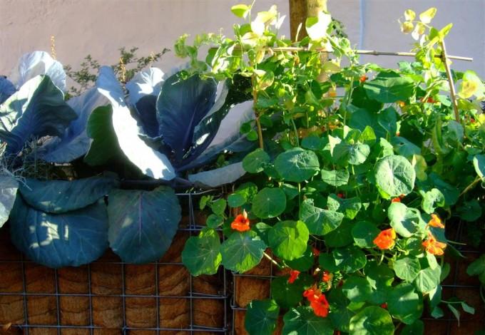 Kohl und Kapuzinerkresse gedeiht auch in Gabionen