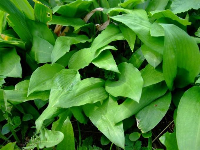 Die Blätter des Bärlauchs gleichen in ihrer Form denen des Maiglöckchens.