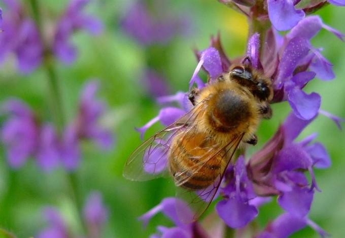 Bienen, Hummeln und Co. lieben die violetten Blüten vieler Kräuter, wie hier die des Salbeis.