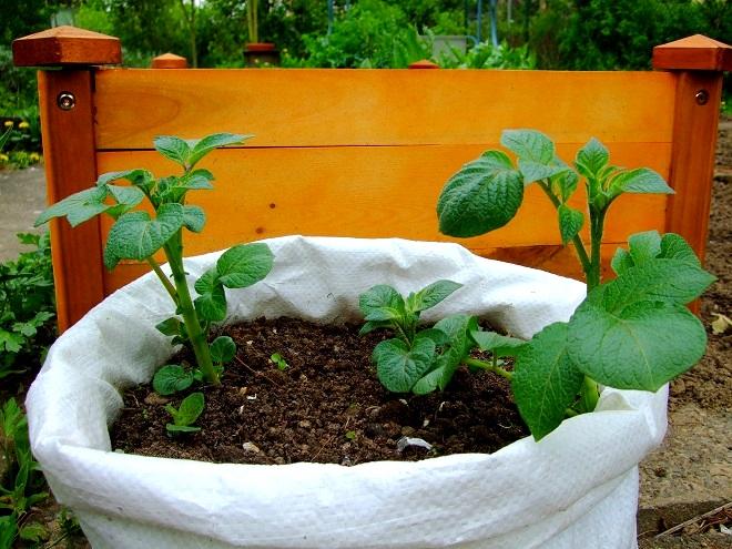 Kartoffeln im Sack anpflanzen
