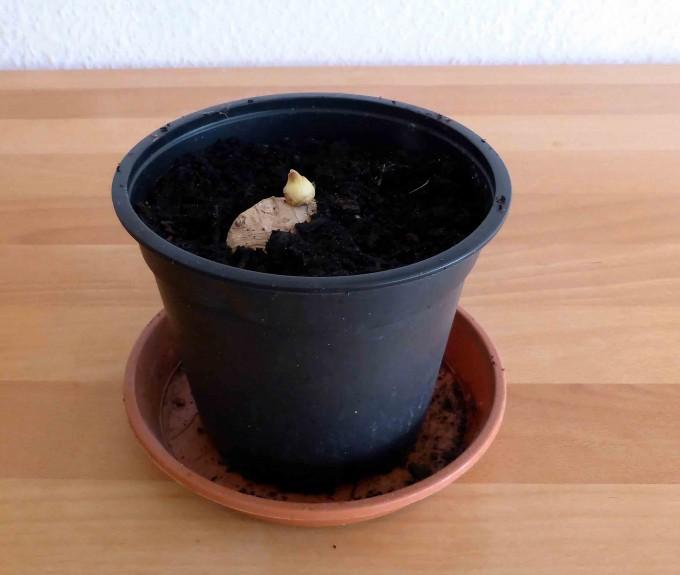 Ingwer einpflanzen