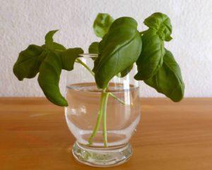 Ableger aus Gemüse ziehen @ Mehrgenerationenhaus/GallusGarten