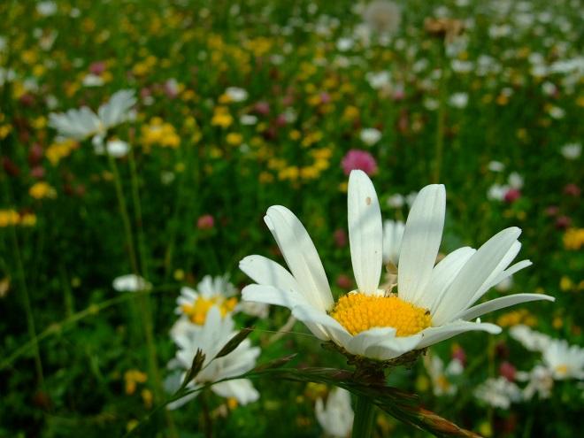 Wildblumenwiesen sind ein Beitrag zum Erhalt der Artenvielfalt