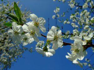 Blütenfest MainÄppelHaus @ Lohrberg | Frankfurt am Main | Hessen | Deutschland