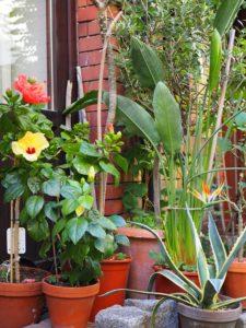 Kübelgarten mit exotischen Pflanzen
