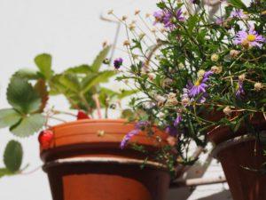 Kübelpflanzen häufig gießen