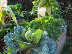 Hochbeet mit Kohlpflanzen im Gallus Garten
