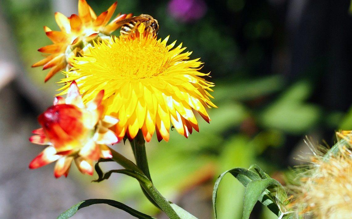Gartenstrohblume mit roten und gelben Blüten