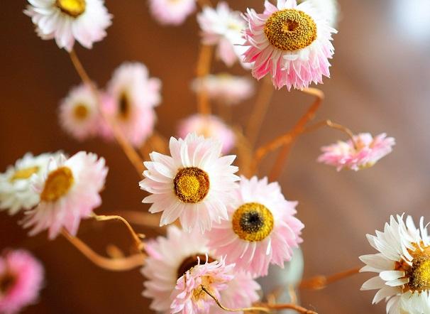 Getrocknete Strohblumen in cremeweiß und rosa