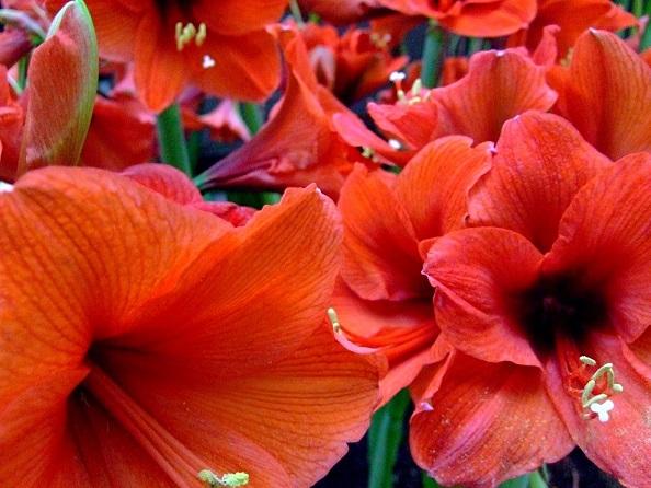 Rote Amaryllisblüten