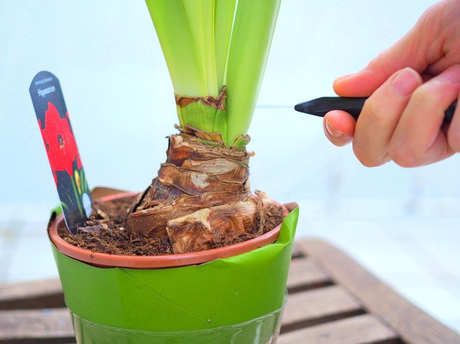 Der Blütenschaft einer verblühten Amaryllis wird knapp über der Zwiebel zurückgeschnitten.