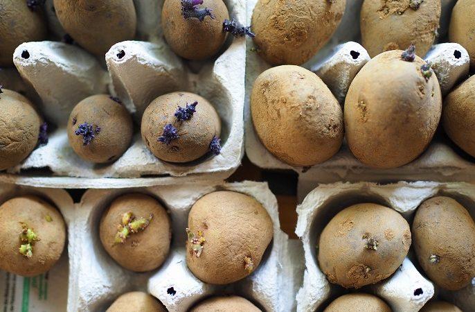 Eierkartons mit vorgekeimten Pflanzkartoffeln