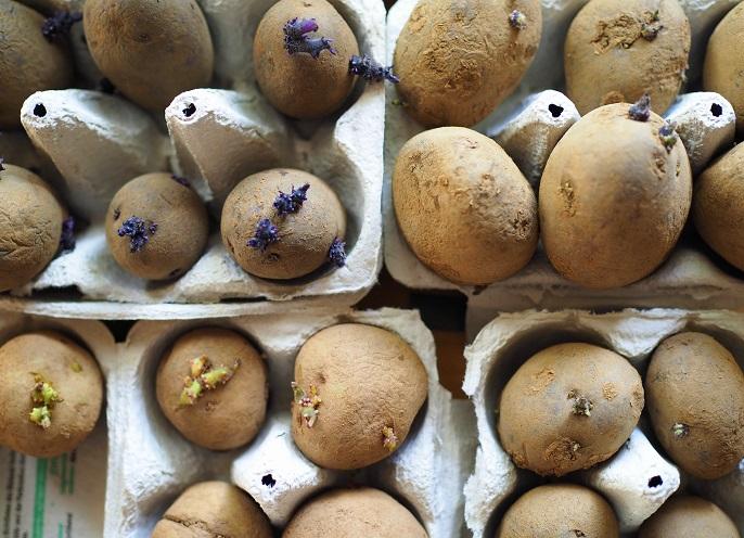 Kartoffeln pflanzen wann ist der richtige zeitpunkt for Wann kartoffeln pflanzen