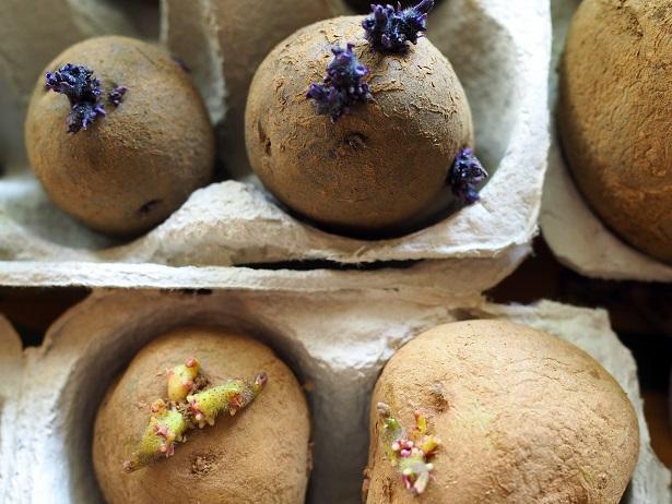 Pflanzkartoffeln im Eierkarton mit kräftigen Keimen. Je nach Kartoffelsorte sind die Keime violett oder eher gelblich gefärbt.