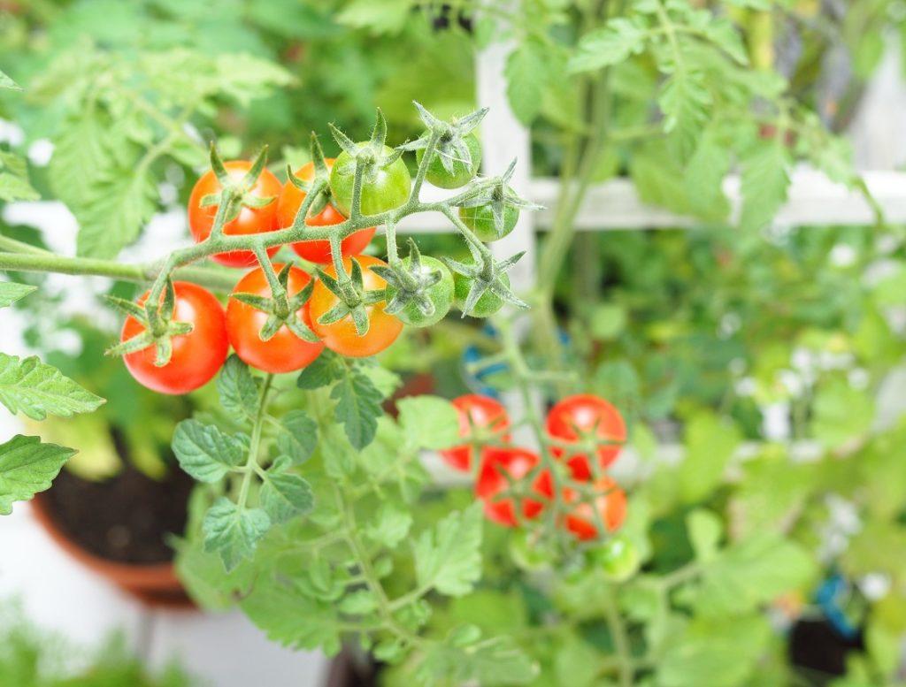 Tomatenanbau im Kübel