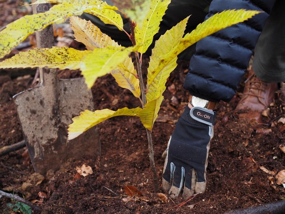 frisch eingepflanzte Esskastanie